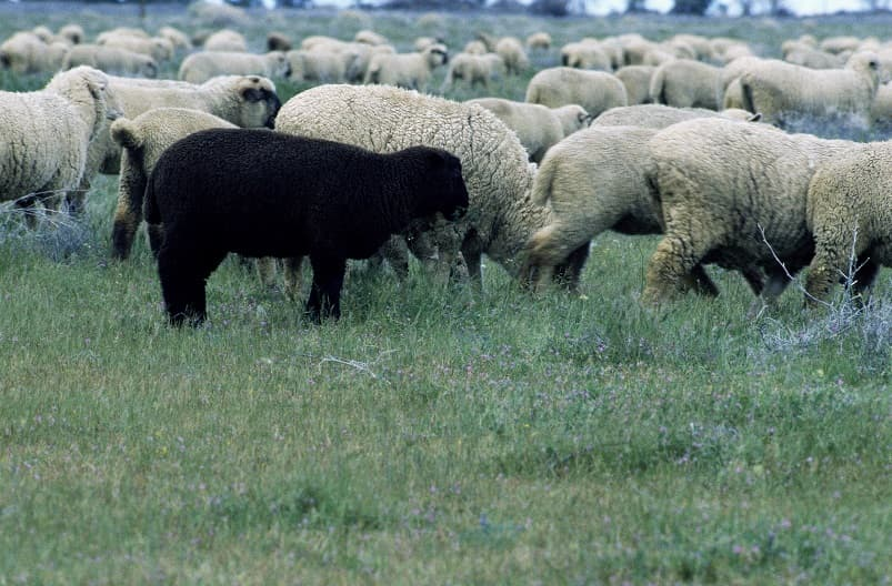 گوسفندی سیاه در گله گوسفندان سفید در علفزار