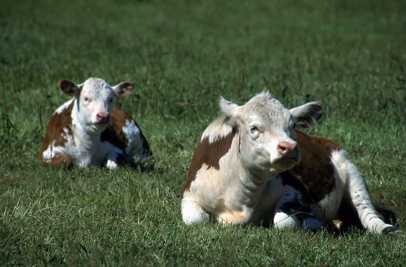 دو گاو زیبا در حال استراحت بر روی چمن