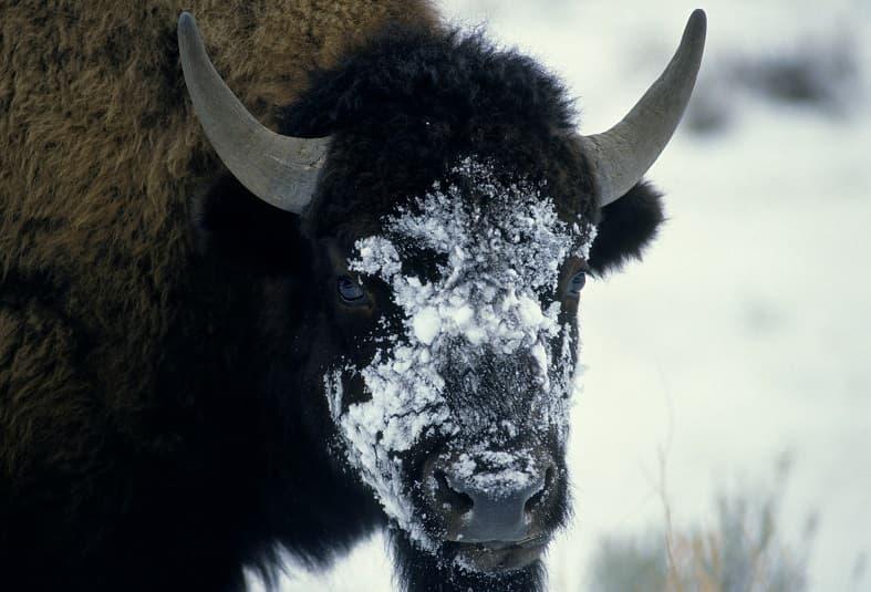 گاو وحشی در زمستان که روی صورتش برف ریخه