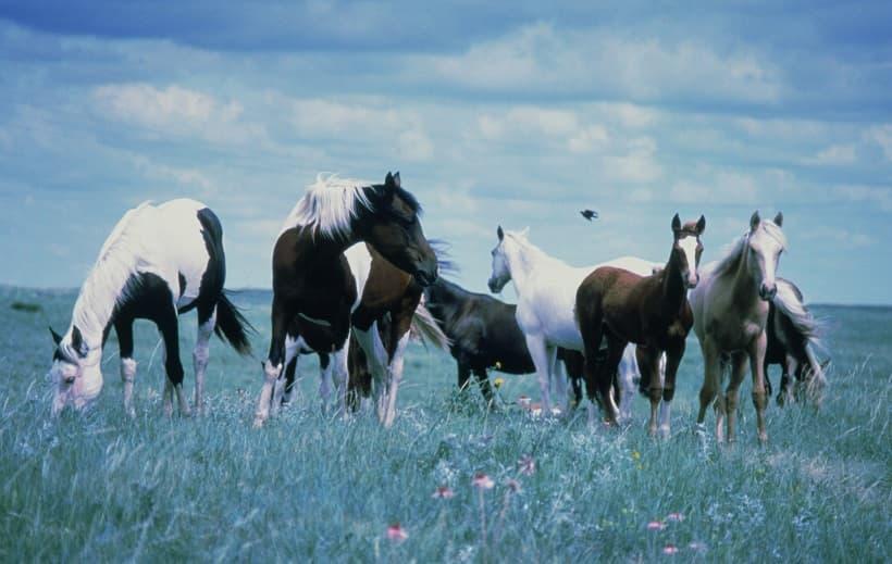 اسب ها وحشی در صحرا