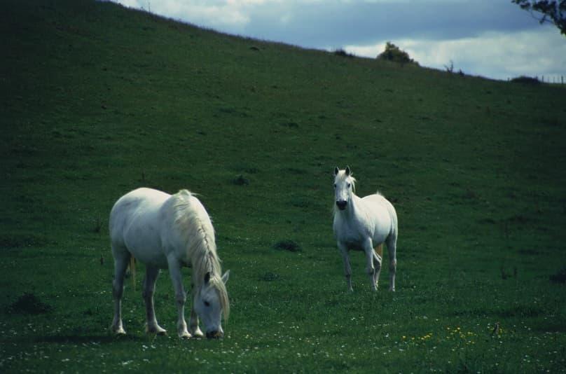 دو اسب سفید زیبا در چمنزار بزرگ