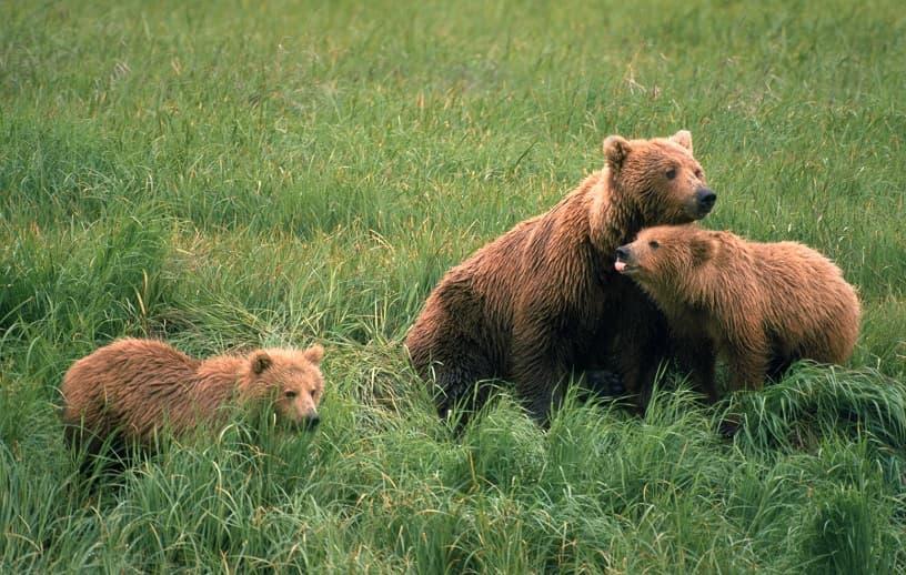 خرس های قهواهای در صحرا