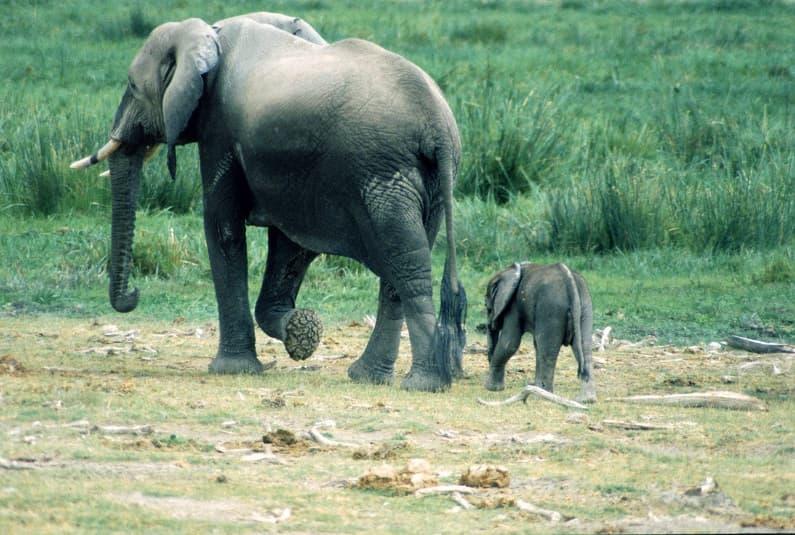 فیل و بچه فیل در صحرا