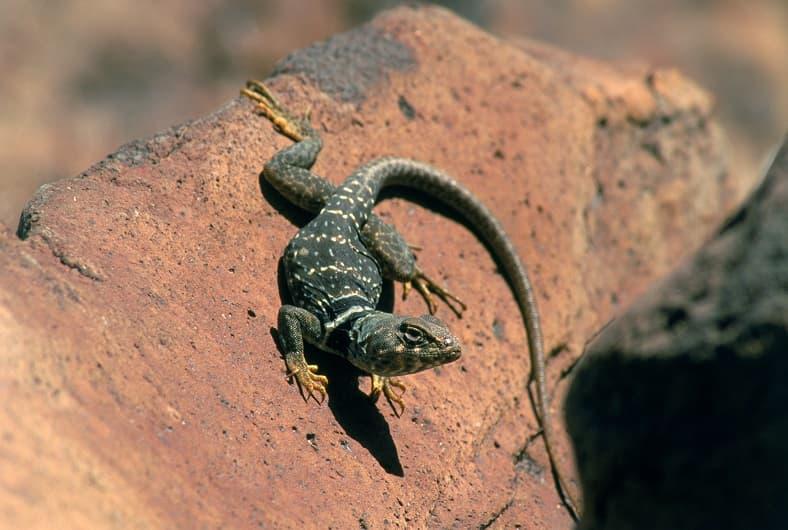 تصویر مارمولک روی تخته سنگ