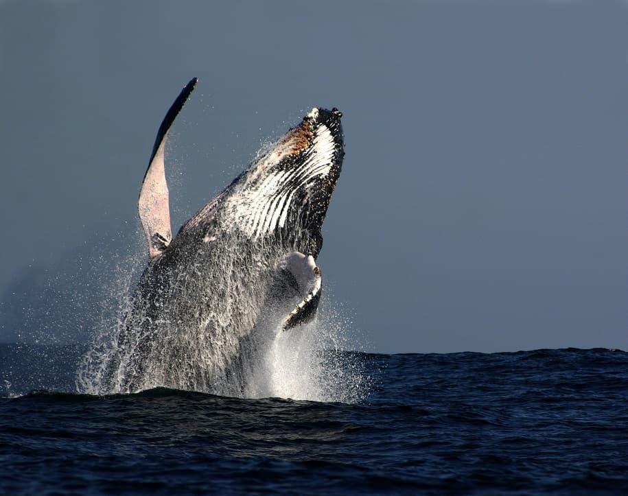 شیرجه نهنگ زیبا