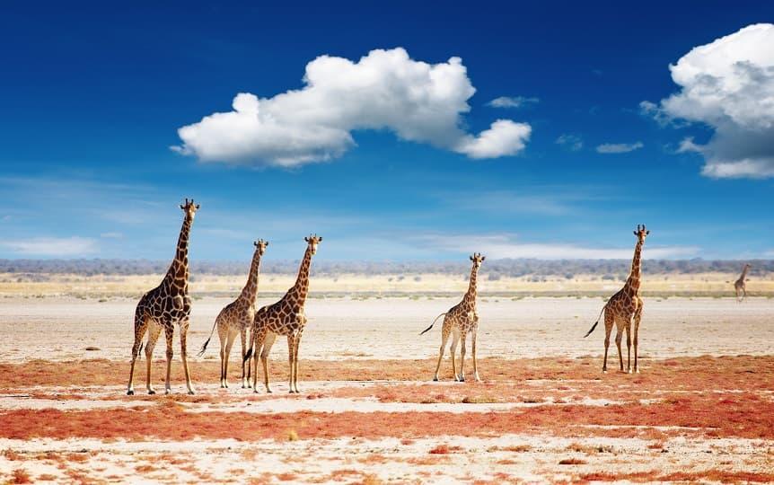 تصویر زرافه ها در صحرا