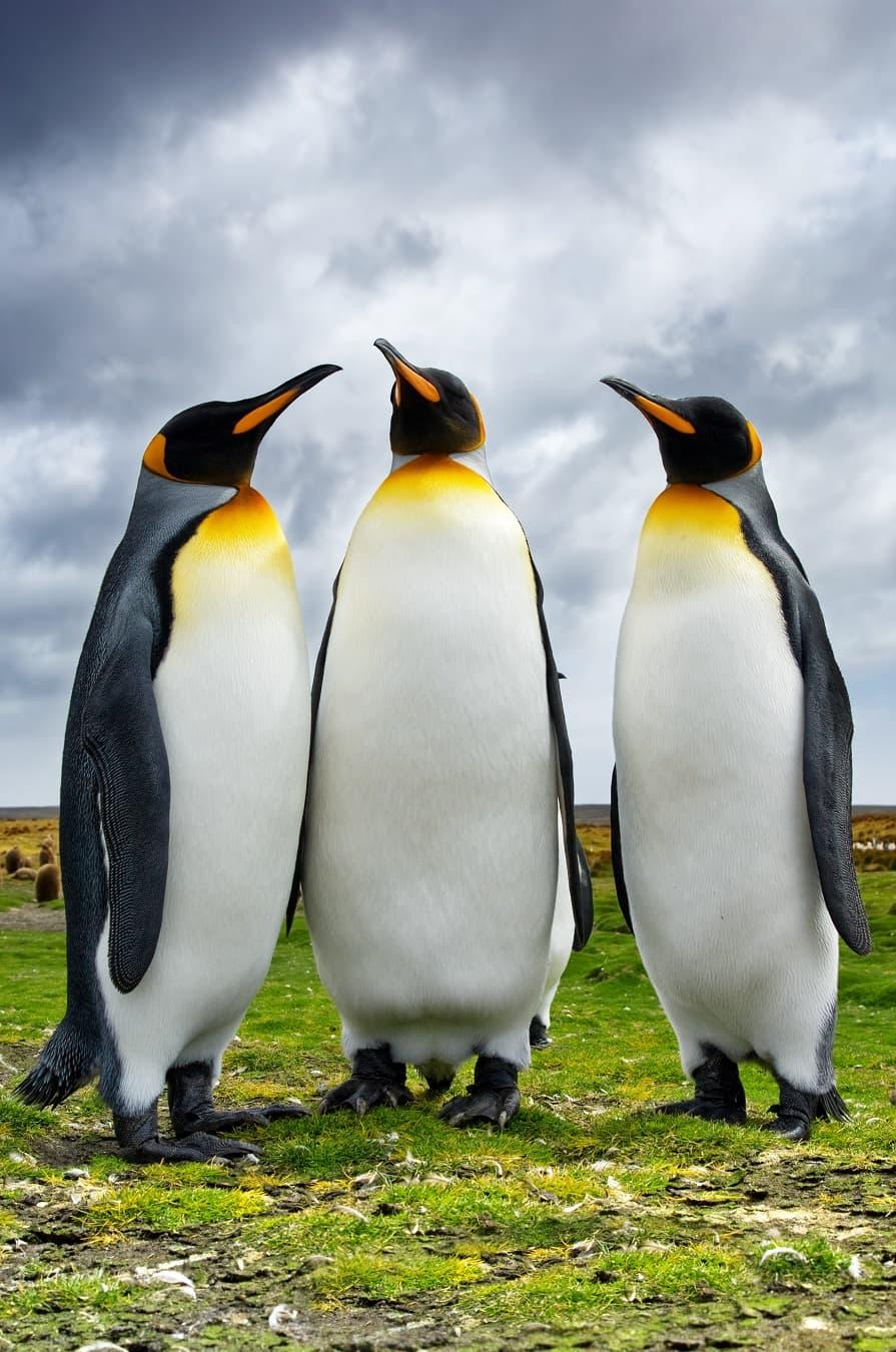 تصویری زیبا از پنگوئن ها در آب و هوای ابری